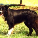 Border Collies are great farm dogs.